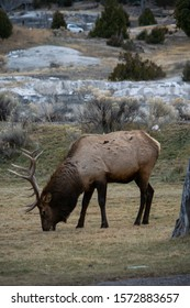 Elks eating grass in the Yellowstone National Park
