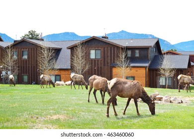 Elks grazing on grass in Estes Park in Colorado