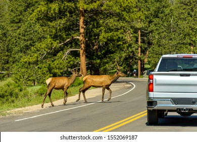 Elks On Road - Two young elks running across U.S. Route 36 on a Spring morning in Rocky Mountain National Park, Colorado, USA.