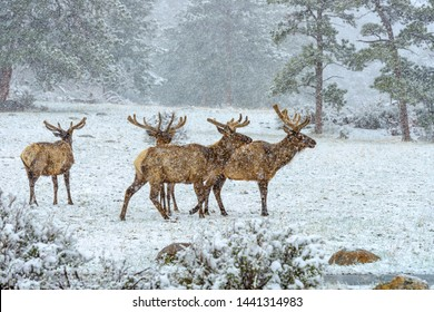 Elks in Snowstorm - A group of bull elk wandering and grazing on a snow-covered hillside meadow in a Spring snowstorm in Rocky Mountain National Park. Colorado, USA.