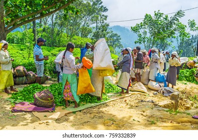 ELLA, SRI LANKA - DECEMBER 1, 2016: The  tea pickers pour out their daily gathered tea leaves, on December 1 in Ella.