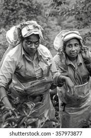 ELLA, SRI LANKA - DECEMBER 3: harvest in the tea fields, tea pickers in the highlands are picking tea on December 3, 2015 in Ella, Sri Lanka