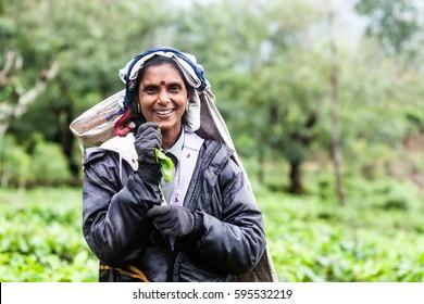Ella, Sri Lanka - January 25, 2017: Woman from Sri lanka picking tea leaf on tea plantation at Ella.