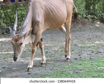 Elland animal or ellend tauretragus oryx antelope or minature cattle african wildlife mammal. Walking, crouch down, eating.
