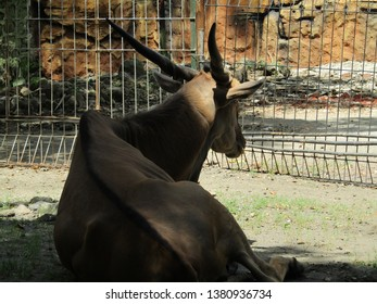 Elland animal or ellend tauretragus oryx antelope or minature cattle african wildlife mammal. Walking, crouch down, eating, sit in cage conservation zoo outdoor