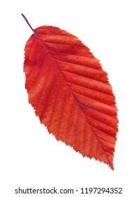 Elm leaf in autumn red colors. Isolated autumn elm leaf