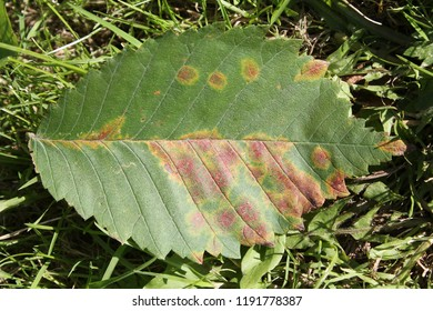 Elm mottle virus or EMoV. Chlorotic ringspot symptoms in leaf of Ulmus glabra or Wych elm infected with mosaic virus