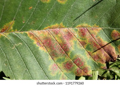 Elm mottle virus or EMoV. Chlorotic ringspot and Line pattern symptoms in leaf of Ulmus glabra or Wych elm infected with mosaic virus