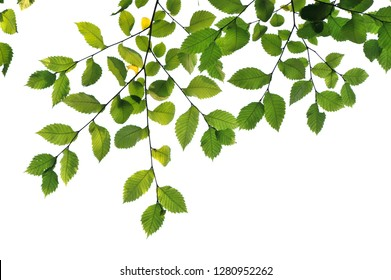 Elm tree branches and leaves isolated on white background.