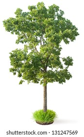 Elm tree. Isolated on a white.