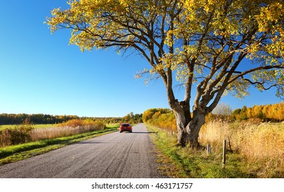 Elm tree on the road side in autumn. Car on asphalt road