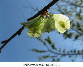 Elm tree seeds on a tree branch in the spring with a blue sky background in a sunny day, Flowers of Elms ( Ulmus minor), Elm Tree, Fruits of the elm tree