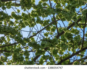 Elm tree seeds on a tree branch in the spring with a blue sky, shoots and green seeds background, Flowers of Elms ( Ulmus minor), Elm Tree, Fruits of the elm tree