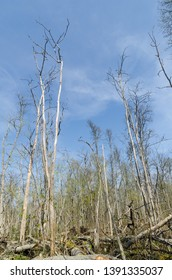 Elm trees damaged by the dutch elm disease in a bright swedish forest by springtime
