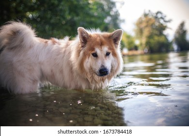 Elo dog standing in the water and have fun. Dog looking around while swimming in the lake