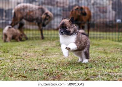 Elo puppy 6.5 weeks old in a meadow