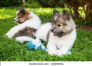 Elo puppy siblings on the meadow