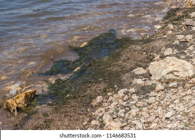 Elodea nuttallii gathered on the shore of fresh water lake