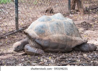 Elongated Tortoise - Indotestudo elongata