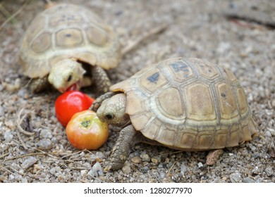 Elongated tortoise in nature, Indotestudo elongata tortoise eating red cherry,Tortoise sunbathe on ground with his protective shell ,Tortoise from Southeast Asia and parts of South Asia