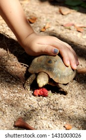 Elongated tortoise in the nature, Indotestudo elongata ,Tortoise sunbathe on ground with his protective shell ,Tortoise from Southeast Asia and parts of South Asia ,High yellow Tortoise