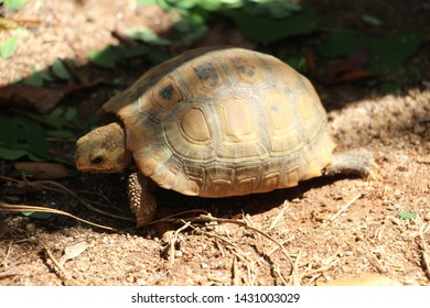 Elongated tortoise in the nature, Indotestudo elongata ,Tortoise sunbathe on ground with his protective shell ,Tortoise from South and Southeast Asia, High yellow Tortoise