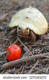 Elongated tortoise in the nature, Indotestudo elongata,Tortoise sunbathe on ground with his protective shell ,Tortoise from Southeast Asia and parts of South Asia ,tortoise eating red cherry
