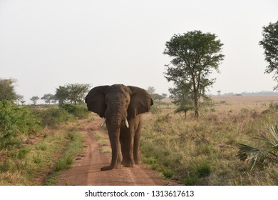 Elphant Bull Kidepo Uganda