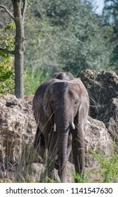 Elphant facing the camera
