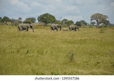 elphant herd in the wild