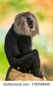 The elusive Lion tailed Macaque from Western Ghats of India