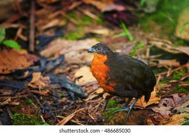 Elusive, rare bird Odontophorus melanonotus,  Dark-backed Wood-quail  in typical habitat of ecuadorian cloud forest. Close up photo, wild animal.  West Andes, Ecuador, South America.