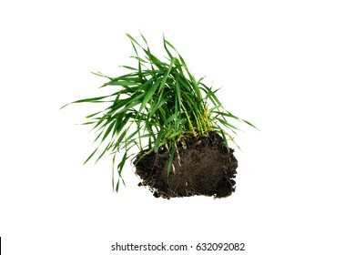 Elymus repens on a white background