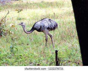 Ema Brazilian bird Rare