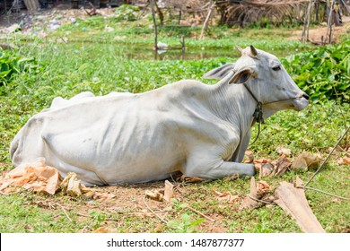 Emaciated thin cow in a field in a rural village in Cambodia