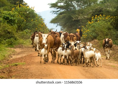 Emali, Kenya, 6/1/2018:  A masai farmer moving his herd of cattle and goats to a different pasture, near Emali, Kenya.