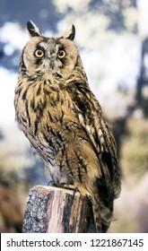 embalmed owl in Lollove