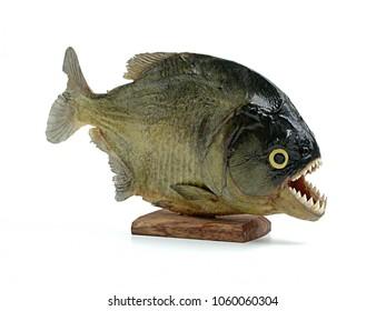 embalmed piranha, carnivore fish on white background