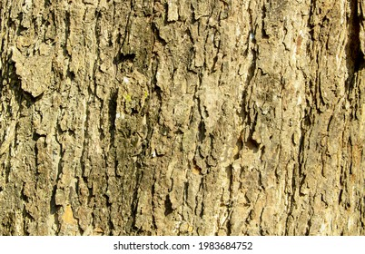 The embossed texture of the bark of raintree. Tree trunk surface photo for the background.