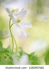 The embrace, wood anemone wildflower; Two spring wild flowers in romance. Romantic and artistic soft focus image on blurred background with nice bokeh