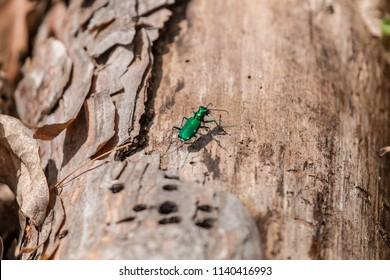 Emerald ash borer looking for a meal, An invasive bug that feeds on ash trees.