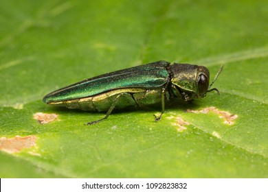 Emerald Ash Borer Side View
