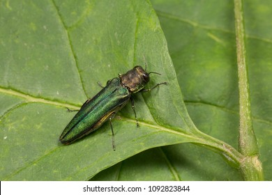 Emerald Ash Borer Sitting on a Leaf