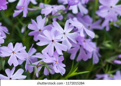 Emerald Blue Creeping Phlox - Purple flowering