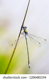 Emerald Damselfly, (Lestes sponsa), male resting on a reed, Loch Lomond & The Trossachs National Park, Scotland, UK.