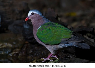 Emerald dove close up in the nature.