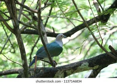 Emerald Dove on tree brances