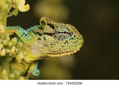 Emerald Dwarf Chameleon close-up