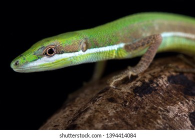 Emerald grass lizard (Takydromus smaragdinus) is endemic to the Ryu-Kyu islands in Japan.