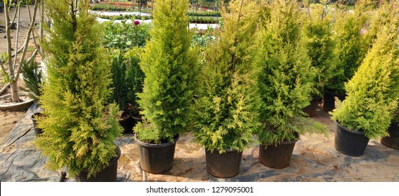 Emerald Green Arborvitae or Thuja occidentalis 'Smaragd'
